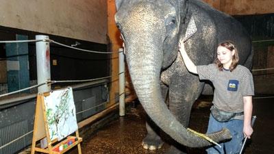 Chú voi Shanti miệt mài vẽ tranh