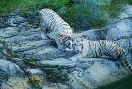 Hai con hổ nuôi tại Khu du lịch Đại Nam của đại gia Huỳnh Uy Dũng.