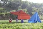 Nguyên liệu sản xuất Trà xanh C2 Ô Long: Dân Thái Nguyên ngơ ngác