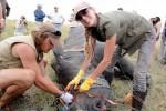 Tẩm thuốc độc vào sừng để cứu tê giác