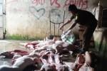 Kinh hoàng chế biến thịt bẩn tại các lò mổ