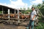 Lên núi trồng rừng, nuôi bò mà thành triệu phú